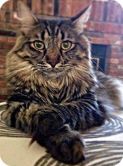 Domestic Mediumhair Cat for adoption in Novato, California - Valentine