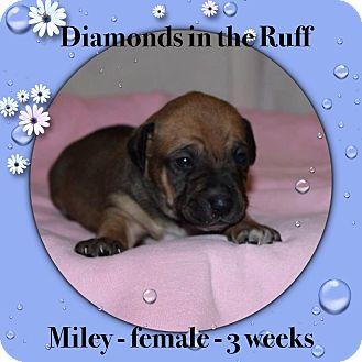 Beagle/Corgi Mix Puppy for adoption in Philadelphia, Pennsylvania - Miley