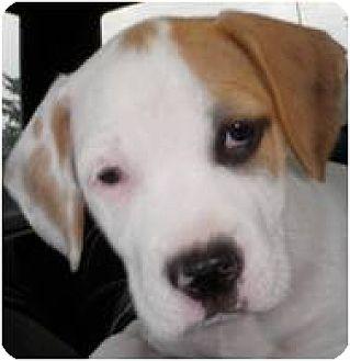 American Bulldog/Boxer Mix Puppy for adoption in Beachwood, Ohio - Baby Nala