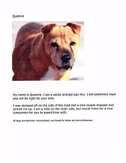 Shar Pei Mix Dog for adoption in Phoenix, Arizona - Queenie