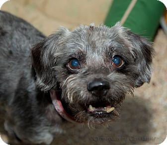 Shih Tzu Mix Dog for adoption in Sierra Vista, Arizona - Mutley