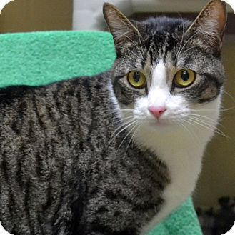 Domestic Shorthair Cat for adoption in Wheaton, Illinois - Toby