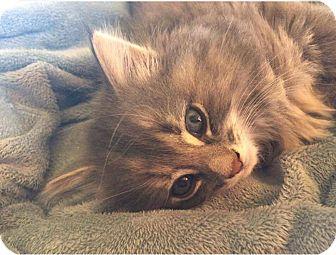Domestic Longhair Kitten for adoption in Middletown, Ohio - Alphaba