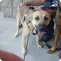 German Shepherd Dog/Australian Cattle Dog Mix Dog for adoption in Mansfield, Texas - Katie