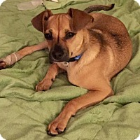 Pug/Chihuahua Mix Dog for adoption in Washington, D.C. - ZEKE