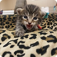 Adopt A Pet :: Peety - Valencia, CA