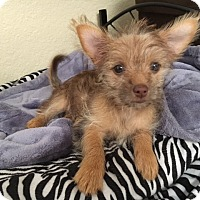 Adopt A Pet :: Rachel - San Diego, CA