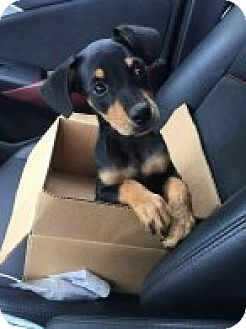 Rottweiler Mix Puppy for adoption in Rexford, New York - Chica Linda