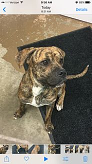Mastiff/Boxer Mix Dog for adoption in Carrollton, Ohio - #5 STRAY Adopt Now