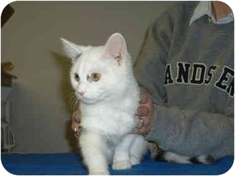 Domestic Mediumhair Kitten for adoption in Hamilton, Ohio - Leila