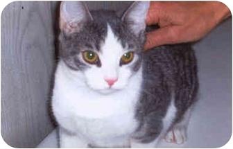 Domestic Shorthair Kitten for adoption in Syracuse, New York - Tom