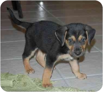 German Shepherd Dog/Border Collie Mix Puppy for adoption in Dripping Springs, Texas - Ollie