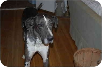 Great Dane Dog for adoption in Indianapolis, Indiana - Zeus
