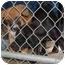 Photo 4 - Boston Terrier Mix Puppy for adoption in Inman, South Carolina - Alphie