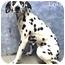 Photo 2 - Dalmatian Dog for adoption in Mandeville Canyon, California - Lola