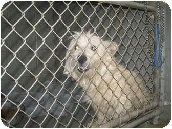 Westie, West Highland White Terrier Mix Dog for adoption in Henderson, North Carolina - Skipper