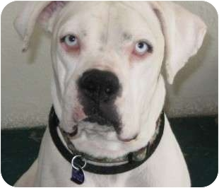 Boxer Puppy for adoption in Reno, Nevada - Thackery Earwicket