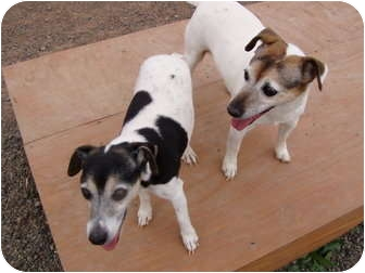 Jack Russell Terrier Dog for adoption in Cedaredge, Colorado - Olive and Bone's..adopted