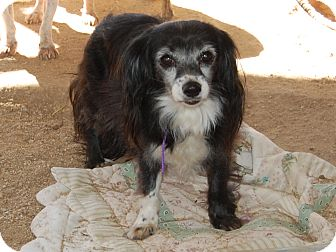 Papillon/King Charles Spaniel Mix Dog for adoption in Creston, California - Queen Kamehameha
