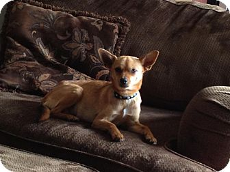 Chihuahua Mix Dog for adoption in Broomfield, Colorado - Abbie