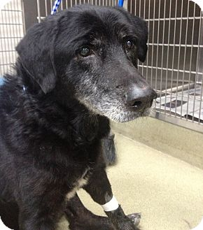 Labrador Retriever Mix Dog for adoption in Palatine, Illinois - Reese
