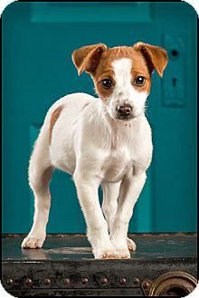 Jack Russell Terrier Mix Puppy for adoption in Owensboro, Kentucky - Ariel