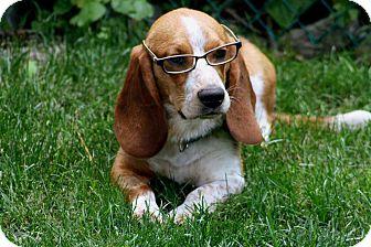 Basset Hound/Beagle Mix Dog for adoption in Salem, New Hampshire - LARRY**
