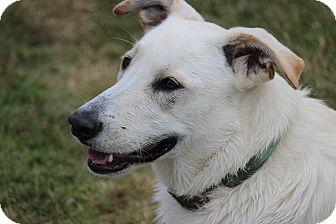 Shepherd (Unknown Type)/Labrador Retriever Mix Dog for adoption in Boonsboro, Maryland - Maggie