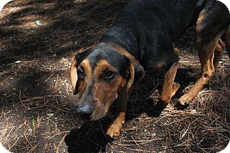 Hound (Unknown Type) Mix Dog for adoption in Grass Valley, California - Duke