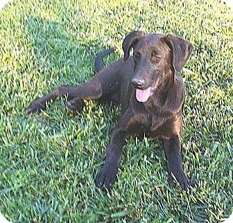 Labrador Retriever/Weimaraner Mix Puppy for adoption in Allentown, New Jersey - Myrtle-ADOPTION SPECIAL