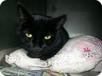 Domestic Shorthair Cat for adoption in Edgewood, New Mexico - Kanye