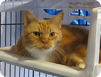 Domestic Shorthair Cat for adoption in Geneseo, Illinois - Tiger3