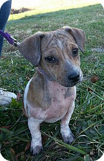 Jack Russell Terrier/Dachshund Mix Puppy for adoption in Lisbon, Ohio - Stinky Magoo