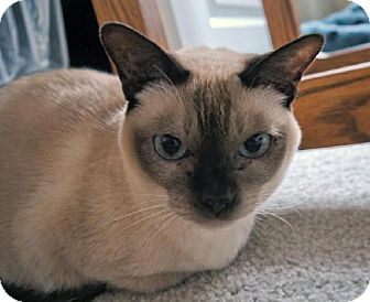 Tonkinese Cat for adoption in HILLSBORO, Oregon - Di & Jordan *Offered by Owner' Tonkinese Seniors