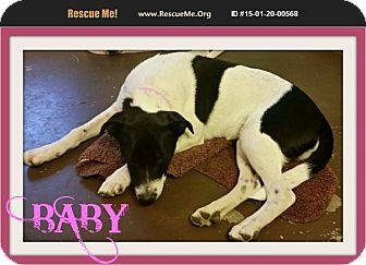 Great Dane/Dalmatian Mix Puppy for adoption in bullard, Texas - Baby