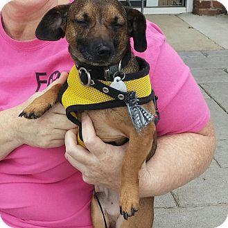 Dachshund/Chihuahua Mix Dog for adoption in Marietta, Georgia - Hans