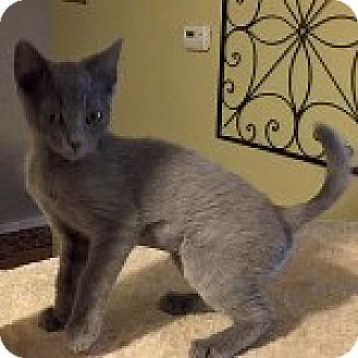 American Bobtail Kitten for adoption in San Andreas, California - Jassie