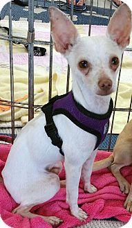 Toy Fox Terrier/Chihuahua Mix Puppy for adoption in Phoenix, Arizona - Tony