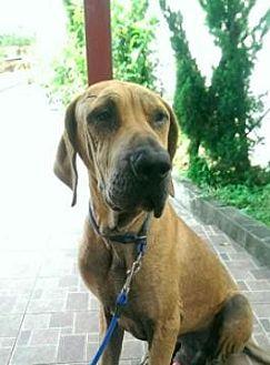 Terrier (Unknown Type, Medium)/Great Dane Mix Dog for adoption in San Ramon, California - Goofy