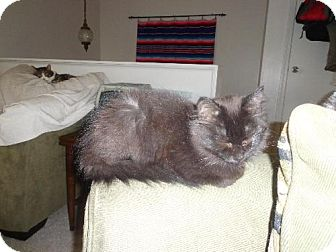 Domestic Longhair Kitten for adoption in Columbus, Ohio - Amelia