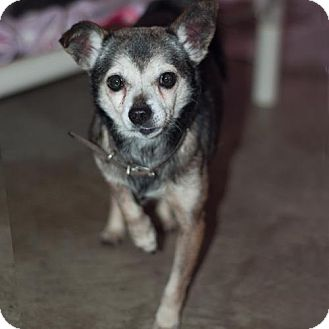 Chihuahua Mix Dog for adoption in New Martinsville, West Virginia - Charlie