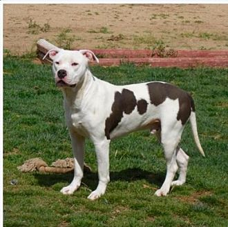 American Staffordshire Terrier/Labrador Retriever Mix Dog for adoption in Anaheim, California - Micky (pair)