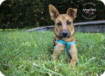 Terrier (Unknown Type, Medium)/Shepherd (Unknown Type) Mix Dog for adoption in Charlotte, North Carolina - DeeDee