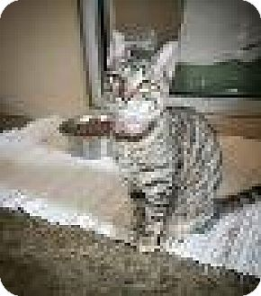 Domestic Shorthair Cat for adoption in Fredericksburg, Texas - Kathryn