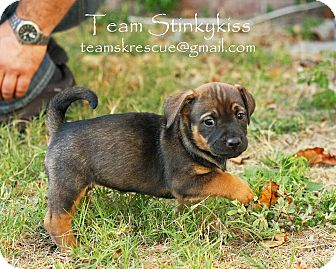Dachshund/Basset Hound Mix Puppy for adoption in Aiken, South Carolina - Eden