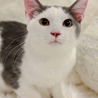 Adopt A Pet :: Riddick Male Japanese Bobtail! - Knoxville, TN