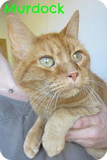 Domestic Shorthair Cat for adoption in Menomonie, Wisconsin - Murdock