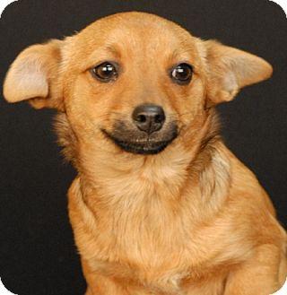 Chihuahua/Dachshund Mix Dog for adoption in Newland, North Carolina - Anthem