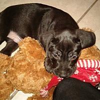 Adopt A Pet :: PUPPY 1 - Hollywood, FL