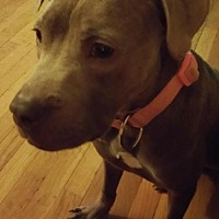 Adopt A Pet :: Destiny - Cincinnati, OH